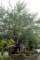 雨に濡れる、図書館の「ギンドロ」の大木。(29.6.21)