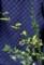 持参した標本、「コトネアスター属」の3種。(29.6.22)