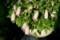 鉢いっぱいに咲いた、「イシズチ(石槌)ホタルブクロ」。(29.6.24)