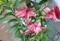 咲き始めた、別種の「オリエンタルリリー」(29.6.23)