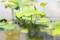 花茎を伸ばしが始めた「ハス(蓮)」。(29.6.23)