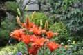 雨中で咲く、「スカシユリ」の花。(29.7.1)