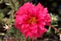 まさに、「ボタン(牡丹)」を思わせる「松葉牡丹」の花。(29.7.3)