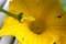 雨中に、「坊ちゃんカボチャ」の人工授粉。(29.7.4)