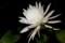 開花した「ゲッカビジン(月下美人)」の花。(29.7.4)(20:51)
