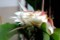 萎みかけた「ゲッカビジン(月下美人)」の花。(29.7.5)