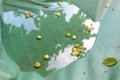 軽トラの荷台に、雨に打たれて落ちた「柿の実」。(29.7.5)