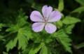 高原に似合う花、「ハクサンフウロ(白山風露)」の花。(29.7.7)