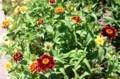 株ごとに、個性的な花を着ける「メキシコ百日草」。(29.7.11)