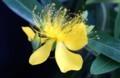 「ビヨウヤナギ(未央楊)」の花。(29,7,12)