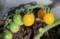 黄色の「ミニトマト」。(29.7.12)
