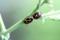 「ラディッシュ(二十日大根)」の花茎で、交尾中の「ナガメ(菜亀)