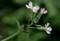 「ラディッシュ(二十日大根)」の花。(29.7.13)