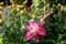 夏花壇で気を吐く、「ベニバナ(紅花)」。(29.7.15)