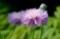 「ストケシア」の優しい花が…。
