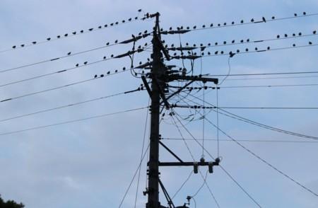 電線に「ムクドリ(椋鳥)」が…。(29..7.15)