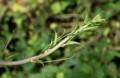 山菜の女王・「シオデ」の芽。(29.7.17)
