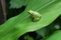 茗荷の葉の上で休む、「雨蛙」。(29.7.17)
