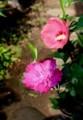 赤色系・「ムクゲ(木槿)」も咲いて…。(29.7.20)