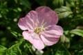 「ツキミソウ(月見草)」、夜が明けると、ピンク色に…。(29.7.20)
