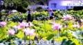 テレビ画面、「上田・八日道堂」のハスが開花。(29.7.21)