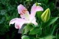 横から観た、「オリエンタルリリー」(29.7.21)