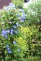 庭先で、高対照の「西洋朝顔・ヘヴンリー・ブルー」と「オミナエシ(