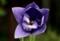 珍しい、二重の花「ナス(茄子)」(29.7.30)