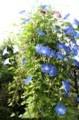 青空に映える「ヘヴンリーブルー・西洋朝顔」の花。(29.7.29)