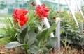 インパクトのある「矮性種・カンナ」の花。(29.8.3)