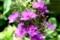庭先の「クサキョウチクトウ(草夾竹桃)」の花。(29.8.5)