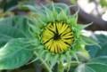舌状花が閉じて、開花直前の「ヒマワリ(向日葵」。(29.8..7)