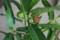 鉢栽培の「イヌビワ」。(29.8)