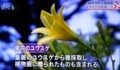 テレビ画像・「軽井沢町植物園のユウスゲ」(29.8.7)