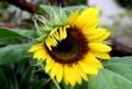 順に開く,ヒマワリ(向日葵)」の舌状花。(29.8..8)