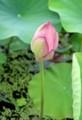 明朝に開花、?膨らんだ「ハス(蓮)」の蕾。(29.8.8)