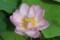 開花3日目の「ハス(蓮)」・「蜂巣」。(29.8.11)