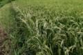畦際だけが白くなっている稲穂。(29.8.11)