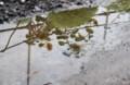 水溜まりに写った、「ヒマワリ(向日葵)」の花(29.8.14)