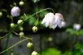 「レンゲショウマ(蓮華升麻)」、雨のしずく。(29.8.18)