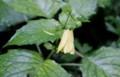 「キレンゲショウマ(黃蓮華升麻)」が、花を一輪着けて…。(29.8.1