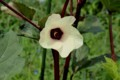 「赤オクラ」の花。(29.8.19)