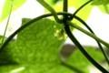 「オキナワスズメウリ(沖縄雀瓜)」が開花。(29.8.20)
