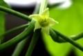 「オキナワスズメウリ(沖縄雀瓜)」の花。(29.8.20)