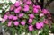 豪華な「サンパチェンス」の花。(29.8.20)