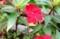 実が膨らみかけた「サンパチェンス」の花。(29.8.20)