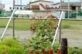 「カワラヒワ(河原鶸)」が「オオケタデ(大毛蓼)」の花に取り付い