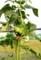頭を垂れた「ヒマワリ(向日葵)」の花。(29.8.22)