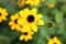 「ルドベキア・タカオ」が咲き始め…。(29.8.23)