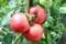 真っ赤に完熟のトマト。(29.8.23)